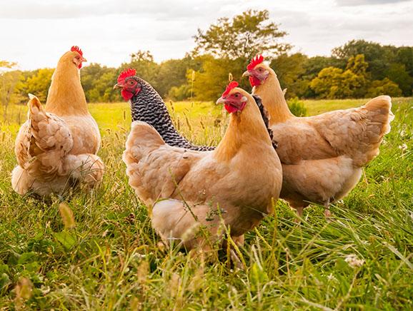 Free-Range Hens