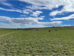 Cows in pasture at the Royal Ranch in Columbia Basin, Washington